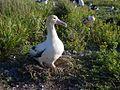 Short-tailed albatross FWS 1.jpg