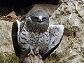 Short-toed Eagle 06.jpg