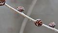 Siberian Elm (Ulmus pumila) - Guelph, Ontario.jpg