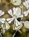 Silene latifolia in Aveyron 03.jpg