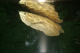 Silver Arowana (Osteoglossum bicirrhosum) (3149758540).jpg