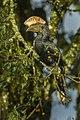 Silvery-cheeked Hornbill - Kenya S4E7236 (16220854478).jpg