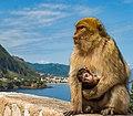 Singe magot, le macaque berbère.jpg