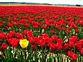Single yellow tulip in a field of red tulips.JPG
