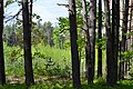 Skulyn Kovelskyi Volynska-Sosnova dacha nature monument-general view-1.jpg