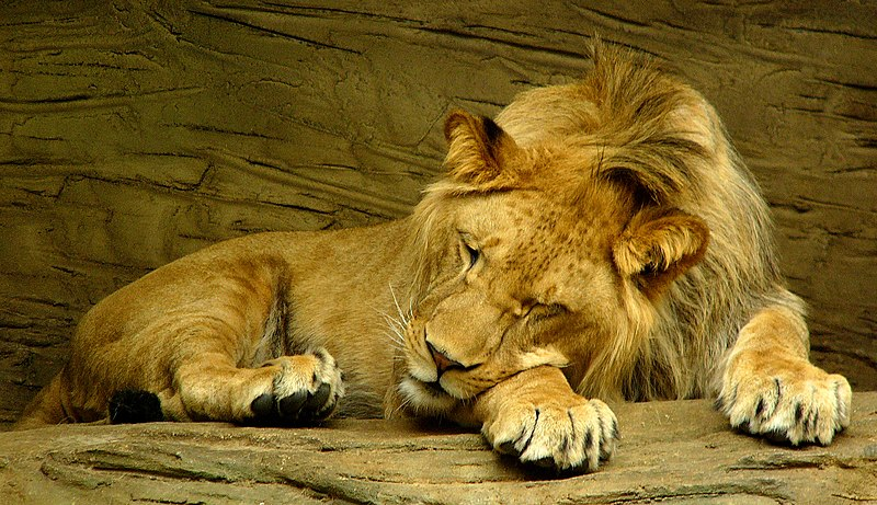 File:Sleeping lion.jpg