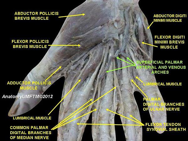 Superficial palmar arch