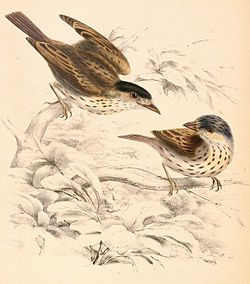 Smithornis capensis capensis 1838.jpg