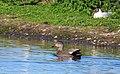 Snatterand Gadwall (13945984990).jpg