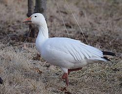 Snow Goose (24510697391).jpg
