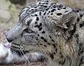 Snow Leopard (6964611184).jpg