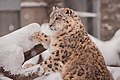 Snow leopard, ZOO in Cracow.jpg
