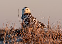 Snowy owl at Jones Beach (04896).jpg