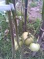 Solanales - Piros ökörszív paradicsom (Solanum lycopersicum; syn. Lycopersicum esculentum) 7 - 2011.09.07.jpg