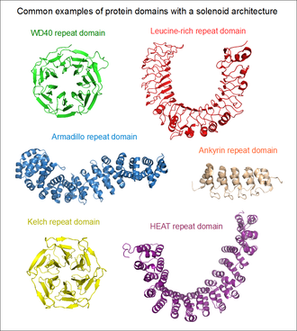 Solenoid protein domain - Common examples of protein domains with a solenoid architecture: the WD40 repeat domain of beta-TrCP (green), leucine-rich repeat domain of TLR2 (red), armadillo repeat domain of beta-catenin (blue), ankyrin repeat domain of ANKRA2 (orange), kelch repeat domain of Keap1 (yellow) and HEAT repeat domain of a PP2A regulatory subunit R1a (magenta).