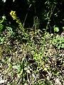 Solidago virgaurea subsp. virgaurea sl8.jpg
