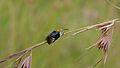 Solitary Bee (Amegilla atrocincta) (6032529699).jpg