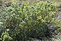 Sophora chrysophylla (5210131568).jpg