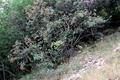 Sorbus-busambarensis-tree.png
