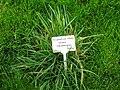 Sorghastrum nutans - Berlin Botanical Garden - IMG 8616.JPG