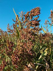 A close up photograph of a fully grown sorghum plant