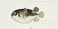 Southern Pacific fishes illustrations by F.E. Clarke 44.jpg