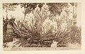 Spanish Dagger. Yucca Grandiflora. (12328363915).jpg