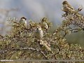 Spanish Sparrow (Passer hispaniolensis) (32845944535).jpg