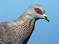 Speckled Pigeon RWD2.jpg
