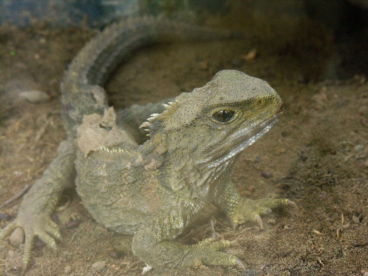 A Tuatara, in Waikanae, New Zealand - from Wikimedia Commons