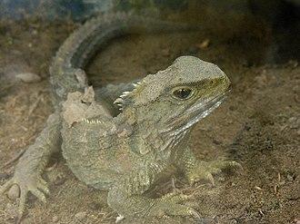 Tuatara - Male northern tuatara (Sphenodon punctatus)