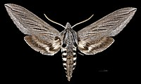 Sphinx chersis MHNT CUT 2010 0 327 Arizona, Yavapai County male dorsal.jpg