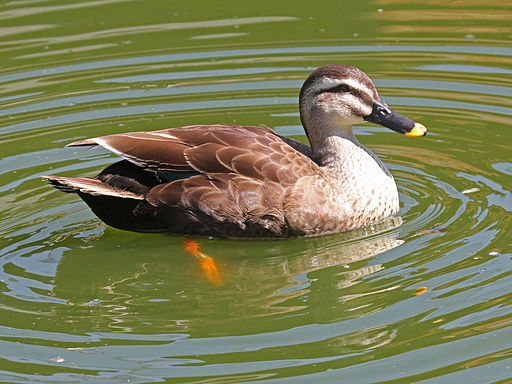 Spot-billed Duck RWD6