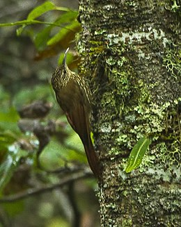 Spot-crowned Woodcreeper - Oaxaca - Mexico S4E9056 (16569411739) (cropped).jpg