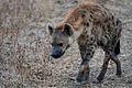 Spotted hyaena.jpg