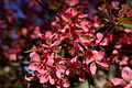 Spring-pink-tree-flower - West Virginia - ForestWander.jpg