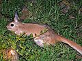 Spring Hare (Pedetes capensis) (6041550581).jpg