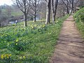 Springtime daffodils - 1 - geograph.org.uk - 1541466.jpg