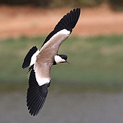 Spur-winged lapwing (Vanellus spinosus) in flight.jpg