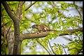 Squirrel-Bangladesh.jpg