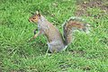 Squirrel - May 2008 (2499594166).jpg