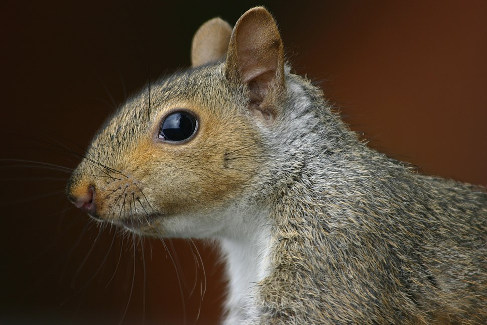 Squirrel closeup profile.gk