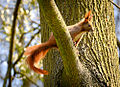 Squirrel on a branch (17026497189).jpg