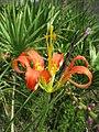 St. Marks NWR Pine Lily 2007 (5328210228).jpg