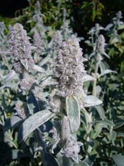 Stachys byzantia 'lambs ear' 2007-06-02 (flower).jpg