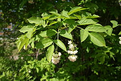Pimpernöt (Staphylea pinnata)