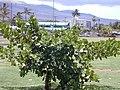 Starr-010424-0007-Clusia rosea-habit-Kihei-Maui (23904269044).jpg