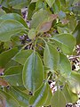 Starr-010515-0116-Cinnamomum camphora-leaves-Makawao-Maui (23904421664).jpg