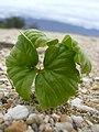 Starr-040323-0207-Cordia subcordata-seedling-Kanaha Beach-Maui (24606311221).jpg