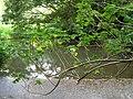 Starr-060810-8508-Montanoa hibiscifolia-habit-Nuuanu-Oahu (24496555709).jpg